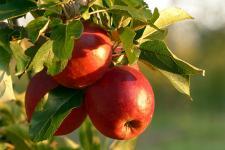 Wszystko o uprawie jabłoni