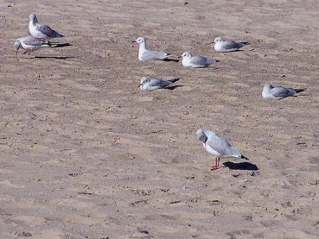 Mewy na piasku