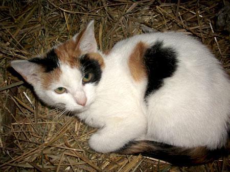 Łaciaty biały kot